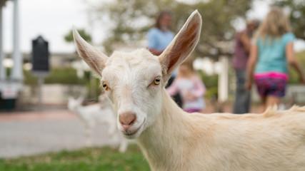 Goat Yoga Photo Bomb