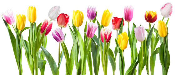 Many different tulip flowers isolated