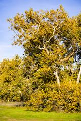 Western Sycamore tree (Platanus racemosa), Sycamore Grove Park, Livermore, San Francisco bay area, California