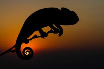 sunset chameleon