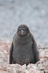 Fluffy grey Adelie penguin chick