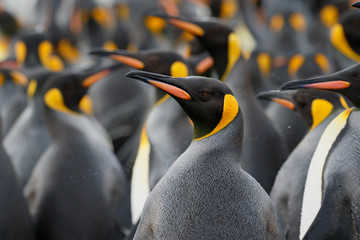 King penguin colony close up