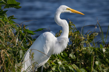 Great Egret - Focus on Prey and ruffled feathers