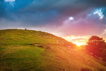 Tuinposter Lavendel Sheep flock grazing on a hill side at sunset