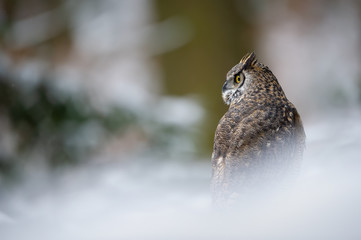Fototapete - Tiger owl - Great horned owl -  Hoot owl