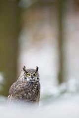 Fototapete - Tiger owl - Great horned owl -  Hoot owl