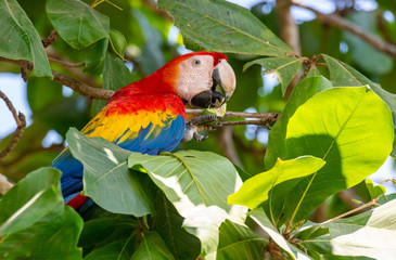 A Beautiful and Colorful Scarlet Macaw in an Almond Tree