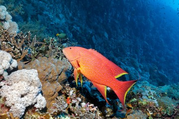Yellow-edged lyretail (Variola louti) swimming over coral reef, Red Sea, Egypt, Africa