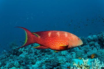 Yellow-edged lyretail (Variola louti) floats over coral reef, Red Sea, Egypt, Africa