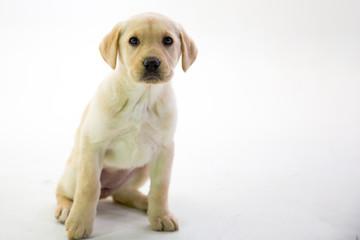 Small Yellow Lab Puppy