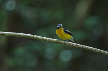 Yellow-rumped flycatcher (Ficedula zanthopygia) in nature