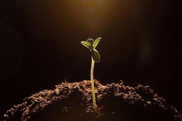 marijuana sprout  in soil close-up dark background