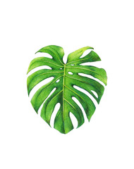 dicut  of Monstera leaf,colored pencil drawing techniques,illustration