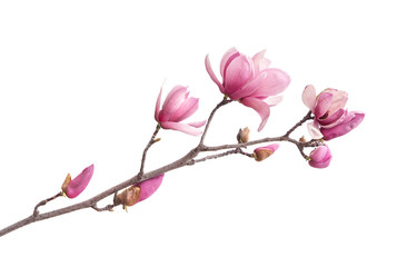 Wall Murals Magnolia Pink magnolia flowers isolated on white background