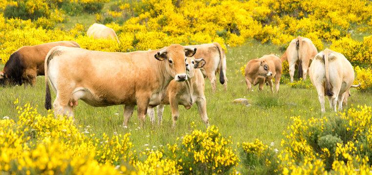 Cows of Aubrac among the flowering broom