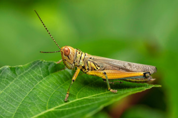 Grasshopper, Caelifera, Thane, Maharashtra, India.