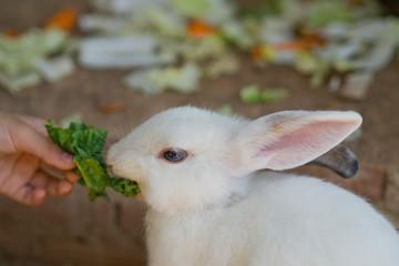 brown rabbit, bunny pet