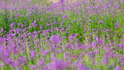 Purple Verbena flower field of purple flowers