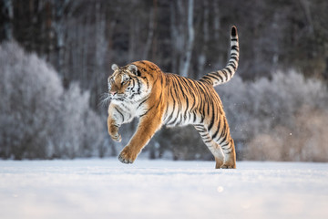 Siberian Tiger on snow. Beautiful, dynamic and powerful photo of this majestic animal. Set in environment typical for this amazing animal. Winter freeze, birches and meadows.