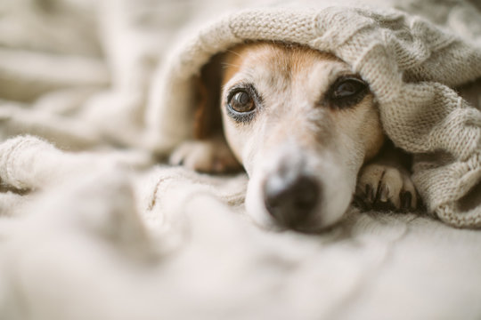 Dreamy thoughtful relaxed sad dog look under the blanket. Lovely cute dog face.