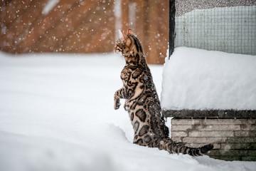 Bengal watching falling Snow