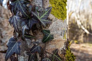 lierre et mousse sur un tronc d'arbre