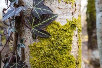mousse et lierre sur tronc d'arbre