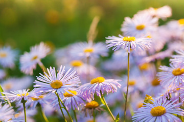 Wall Mural - Bright flowers are in garden. Aster alpinus