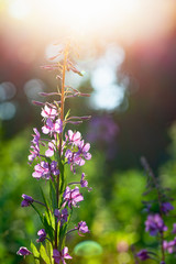 Wall Mural - Flowers in a sunlight at summer day