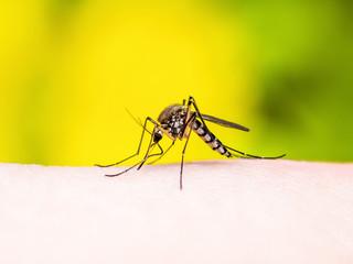 Encephalitis, Yellow Fever, Malaria Disease or Zika Virus Infected Culex Mosquito Parasite Insect Macro on Yellow Background