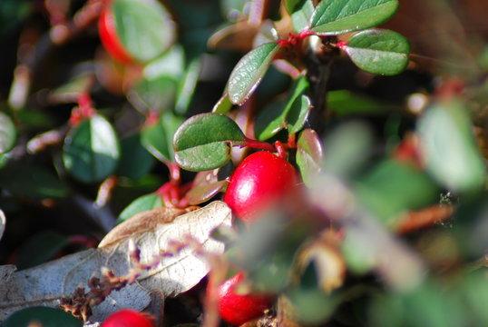 Zwergmispel (Cotoneaster) - rote Beeren