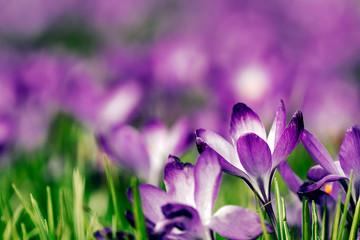Purple Crocus Field
