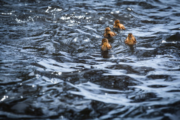 Animal Swim with the Wave / Four little ducklings at dark wavy water of lake (copy space)