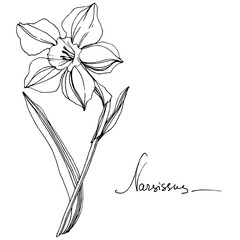 Vector Narcissus floral botanical flower. Black and white engraved ink art. Isolated narcissus illustration element.