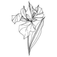 Vector Iris floral botanical flower. Black and white engraved ink art. Isolated iris illustration element.