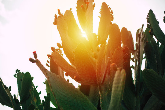 Mysterious flame. Rifle green cactuses with incarnadine flower buds on it in front of clear evening sky and blaze aurantiaceous sun.