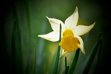Papiers peints Narcisse Baguette de fée