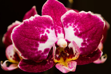 Purple flowering orchids isolaten on the black background