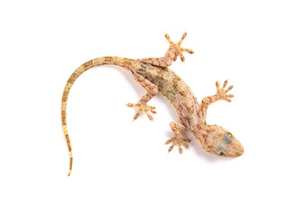 lizard close up on a white background
