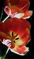 tulip rock´n roll