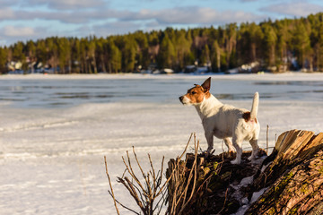 Dog standing on tree stump looking at melting ice on lake at sunny spring day