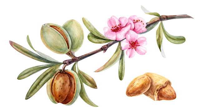 watercolor almond branch