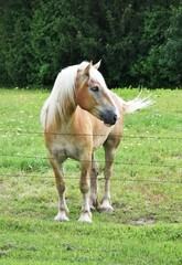 Palomino by the Fence