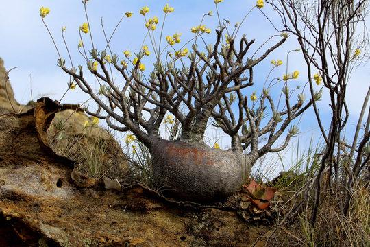 Pachypodium rosulatum - Elephant's Foot Plant