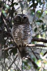 White-browed Owl, Madagascar