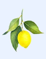 Fresh juicy lemon isolated on light blue background. Branch of yellow citrus fruit with green leaves. Hand drawn watercolor painting. Botanical realistic art.