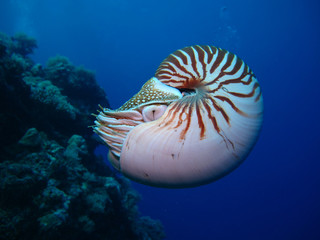 Incredible underwater world - Nautilus pompilius. Diving, underwater photography in Palau.