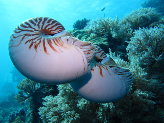 Incredible underwater world - Nautilus pompilius. Diving, underwater photography in Palau.