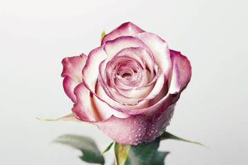 Single beautiful pink rose isolated on white