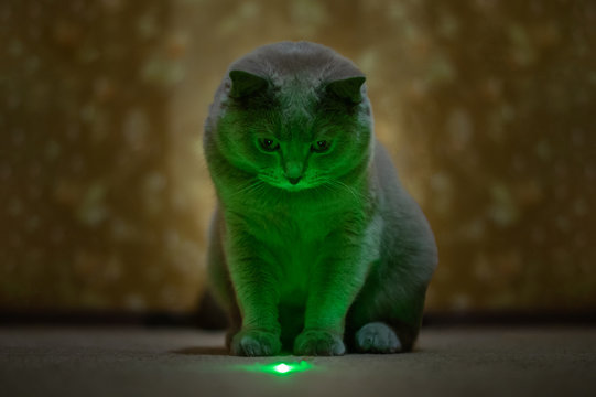 British lilac cat looks at a green speck from a laser pointer